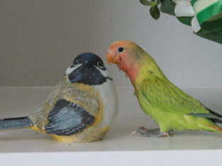 Rare, beautiful hand-fed Opaline green pied baby lovebird