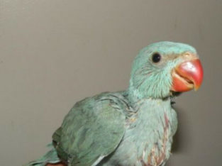 Wanted: Wanted: Looking for a baby Indian ring neck or Alexandrine.