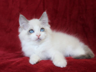 BICOLOR RAGDOLL KITTENS FOR ADOPTION