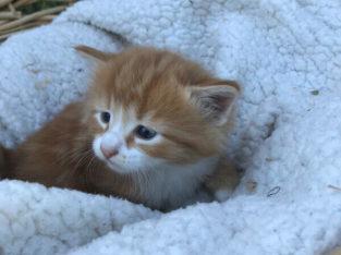 beautiful orange kittens available