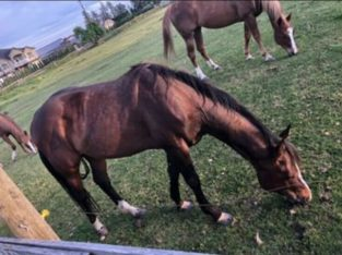 Quarter Horse Male For Sale