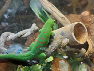 Madagascar giant day gecko