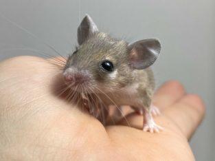 Egyptian Spiny Mice