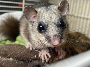 Squirreltail Dormice (glis glis)