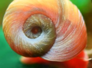 Ramhorn snails healthy
