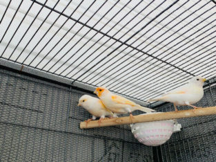 Breeder pair red agate canary