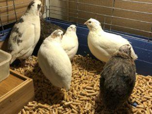 Breeder Quails For Sale