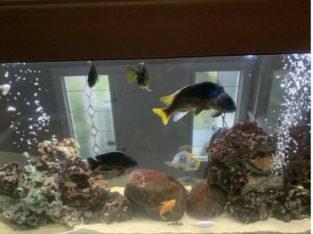Aquarium Cichlids