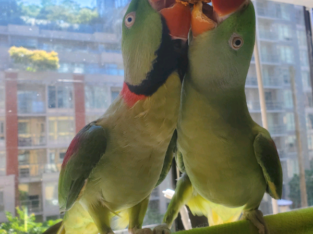 HAVE A PARROT PARTY!!! ERIN'S PARROTS WILL COME TO YOUR PARTY!