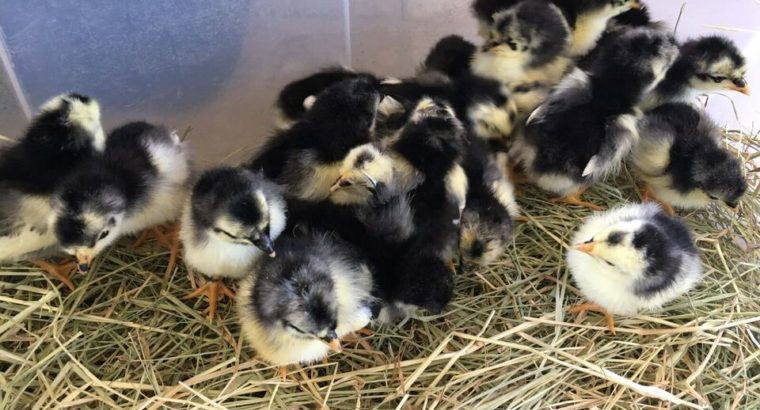 Jersey Giant Chicks