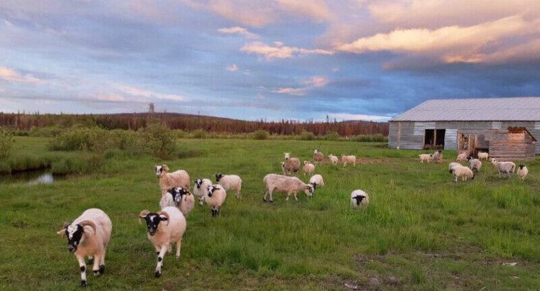 Fall Grass Fed Lamb